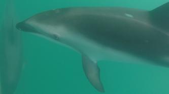 Delfiny, Kaikoura