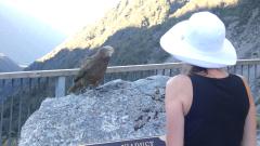 Papugi Kea, Arthur's Pass